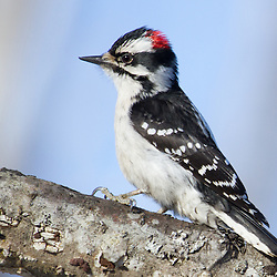 A downy woodpecker marches along a fallen tree.