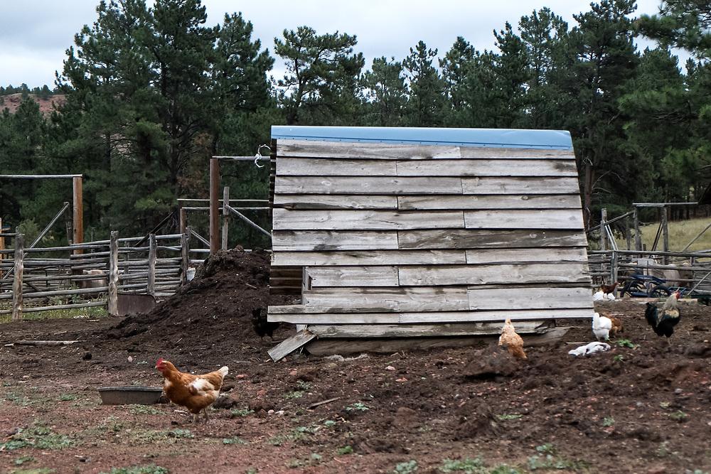 A Pasture raised Chicken at EZ Rocking Ranch | August 23, 2014