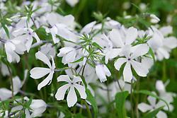Phlox divaricata 'May Breeze'