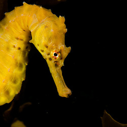 Big Bellied Seahorse, Hippocampus abdominalis