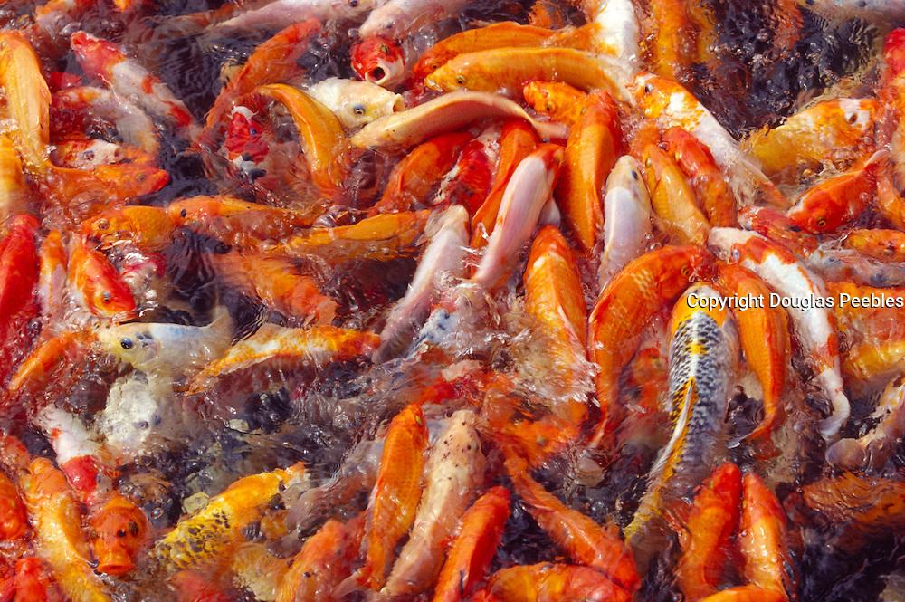 Fish, carp, koi<br />