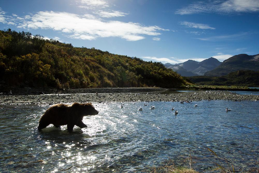 USA, Alaska, Katmai National Park, Grizzly Bear   (Ursus arctos) walking through salmon spawning stream by Kinak Bay on autumn morning