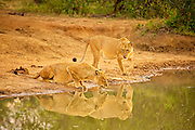 Two lioness at the edge of a dam, one drinking, one approaching.  Reflections clearly visible.
