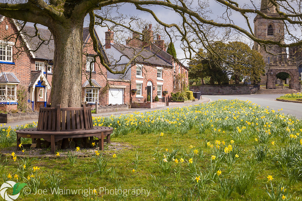 Daffodils bloom on the village green at Astbury, Cheshire.