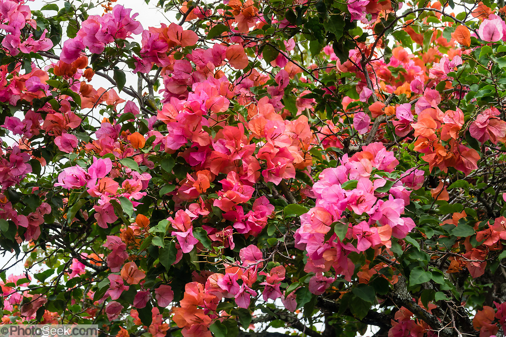 Bougainvillea is a genus of thorny ornamental vines and shrubs with colorful papery triangular to egg-shaped, petal-like floral bracts surrounding its small whitish flowers; native to Brazil. Photo is from Princeville, on the island of Kauai, Hawaii, USA.