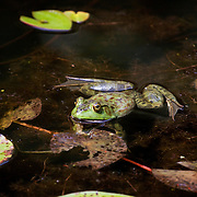 Bullfrog peering from water