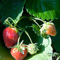 """Doug Wolff says people like to pick strawberries, because they're easy and fast to pick. """"Whether you're thirteen or eighty, you can pick a strawberry."""""""
