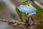 Blue-back reed frog (Heterixalus madagascariensis) from Palerium, eastern Madagascar.