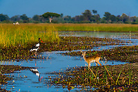 Saddle-billed stork and Red Lechwe (antelope), Kwara Camp, Okavango Delta, Botswana.