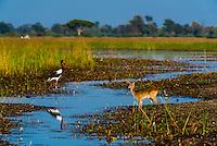Saddle-billed stork and Red Lechwe (antelope), Kwara Camp, Okavango Delta, Botswana.