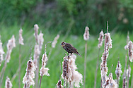 Female Red-winged Blackbird (Agelalus phoeniceus) in the marsh at Elgin Heritage Park in Surrey, British Columbia, Canada
