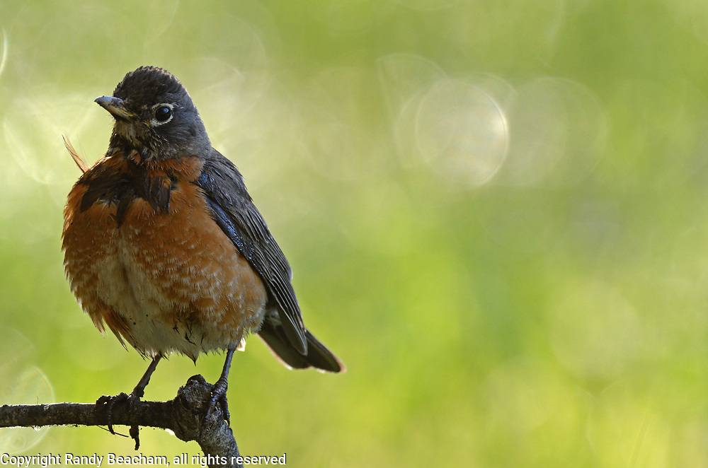 American robin along forest meadow in spring. Yaak Valley in the Purcell Mountains, northwest Montana.