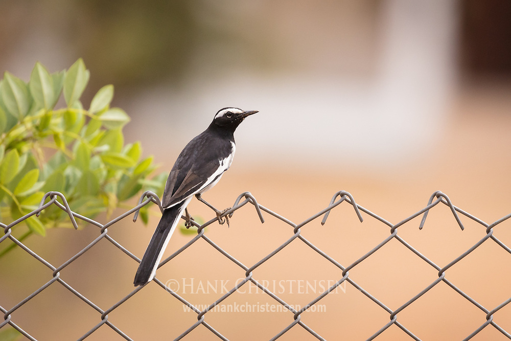 A white-browed wagtail perches on a chain link fence, Mudumalai National Park, India.