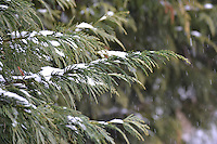 Tips of an Evergreen tree slightly covered in snow
