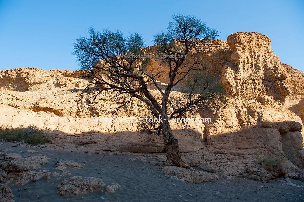 Camel Thorn Acacia tree (acacia erioloba) Namib-Naukluft National Park, Namibia, Southern Africa.