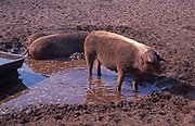 AREJMD Free range pigs outdoors wallowing in mud Snape, Suffolk, England