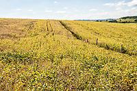 Plantação de soja. Ipuaçu, Santa Catarina, Brasil. / <br /> Soybean plantation. Ipuaçu, Santa Catarina, Brazil.