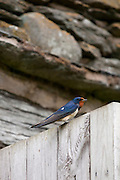Barn Swallow, Hirundo rustica, perched on barn door near Watendlath in the Lake District National Park, Cumbria, UK