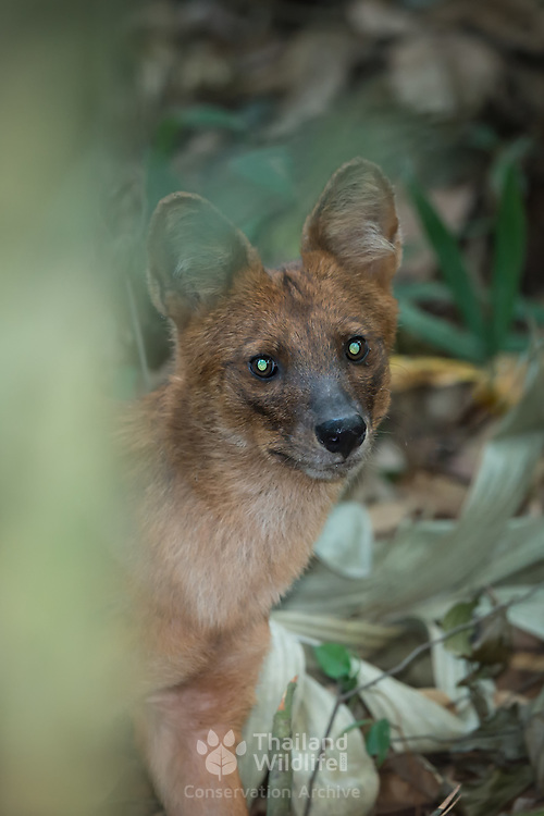 The dhole (Cuon alpinus) is a canid native to Central, South and Southeast Asia. Other English names for the species include Asiatic wild dog, Indian wild dog, whistling dog, red wolf. Kaeng Krachan National Park, Thailand.