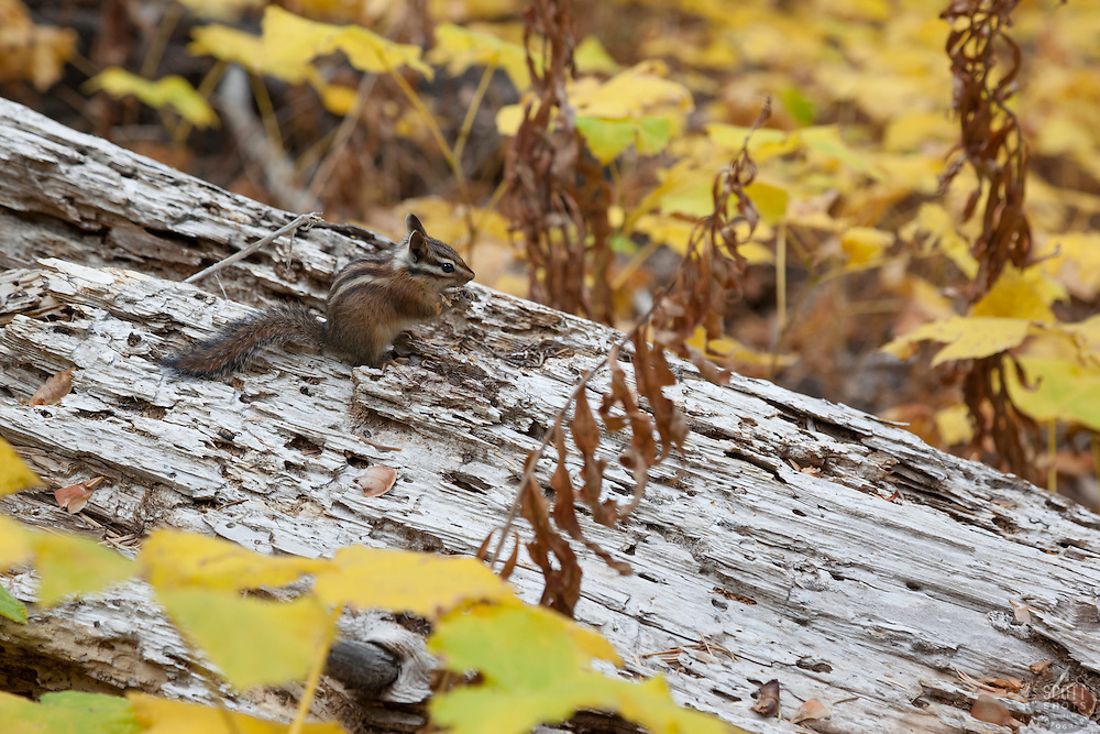 """Chipmunk in the Fall 2"" - Photograph of a chipmunk on a log, surrounded by yellow thimbleberry leaves."