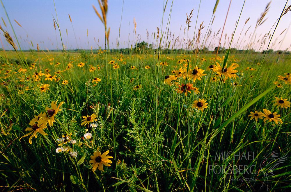 Black-Eyed Susans on the prairie.  Pawnee Prairie Wildlife Management Area, Nebraska.