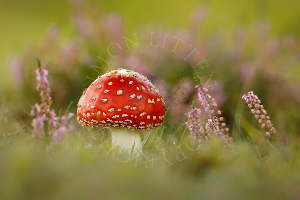 Fly Agaric (Amanita muscaria) fruiting body, growing amongst heather on heathland, Norfolk, UK.