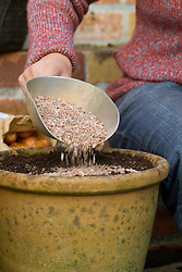 Planting tulip bulbs in a pot - covering with grit