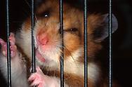 Deutschland, DEU, Cuxhaven: Wütender Goldhamster (Mesocricetus auratus) beißt in die Gitterstäbe seines Käfigs. | Germany, DEU, Cuxhaven: Angry Golden Hamster (Mesocricetus auratus) biting bars of its cage. |