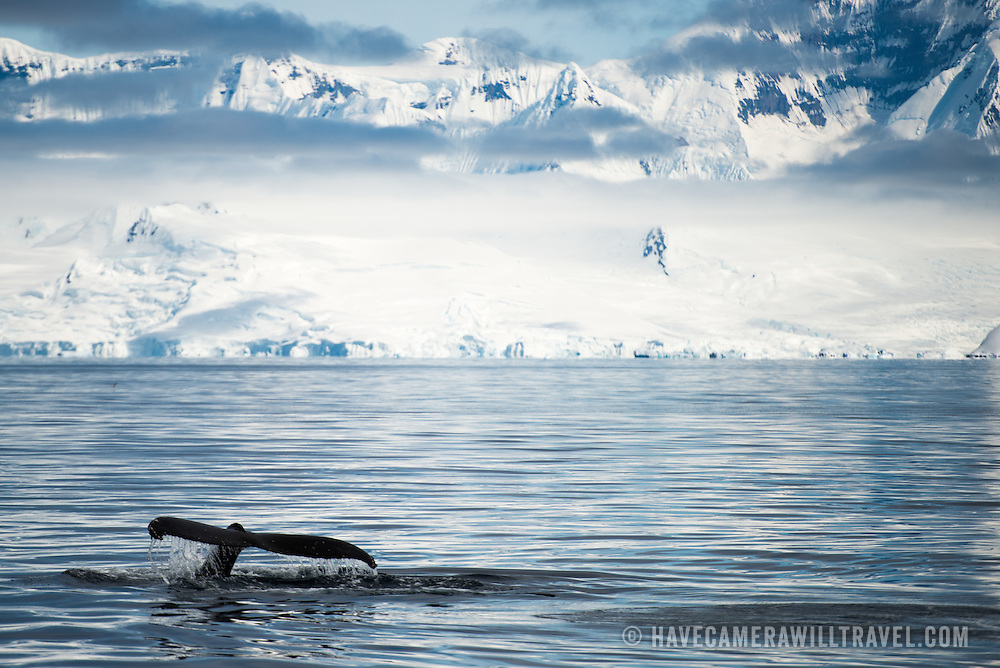 A humpback whale dives in Fournier Bay on the western coast of the Antarctic Peninsula.