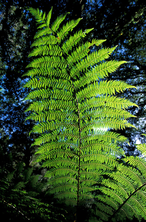 Fern Tree, Whirinaki Forest Park near Urewera National Park, Northland, North Island, New Zealand