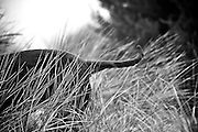 Black and White Portrait of Coco the Labradoodle in the Tall Grass