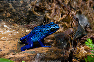 Poison Dart Frogs - Captive