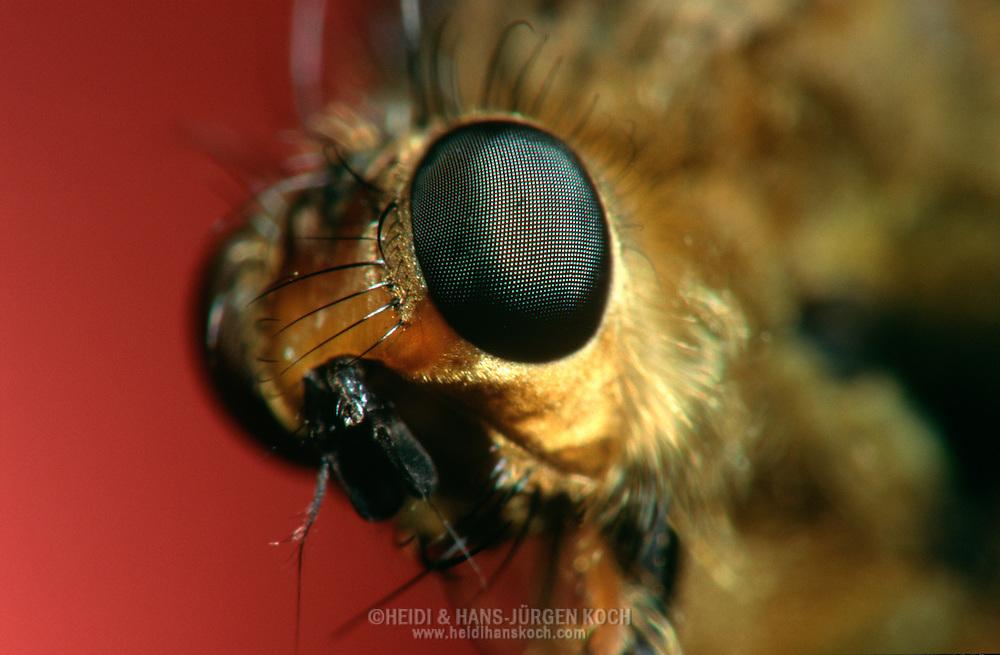 DEU, Deutschland: Porträt von einer Schnepfenfliege (Rhagio scolopaceus), Nahaufnahme | DEU, Germany: Snipe-fly (Rhagio scolopaceus), insect portrait, close-up |
