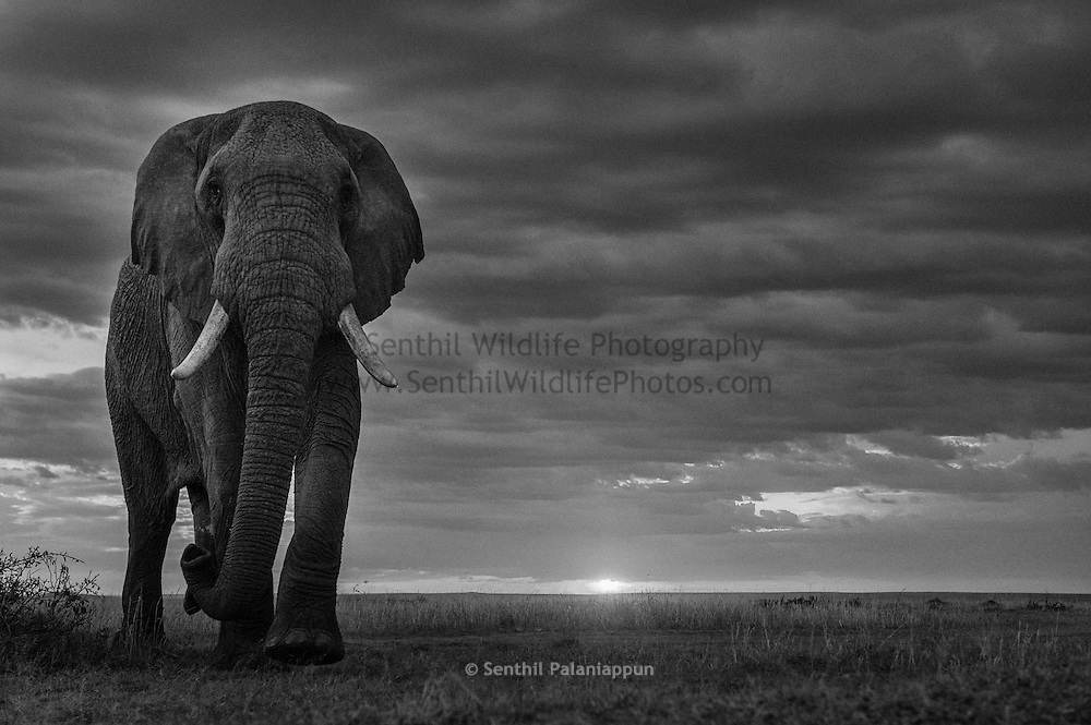 "Loxodonta africana, Masai Mara, Kenya, This Bull Elephant in ""musth"" was very curious and came to within 7 feet of our 4x4 to inspect. He was completely unagitated and walked around our vehicle. Nikon D700, 24-70mm at 56mm, f/5.6, 1/250 sec, ISO 1250"