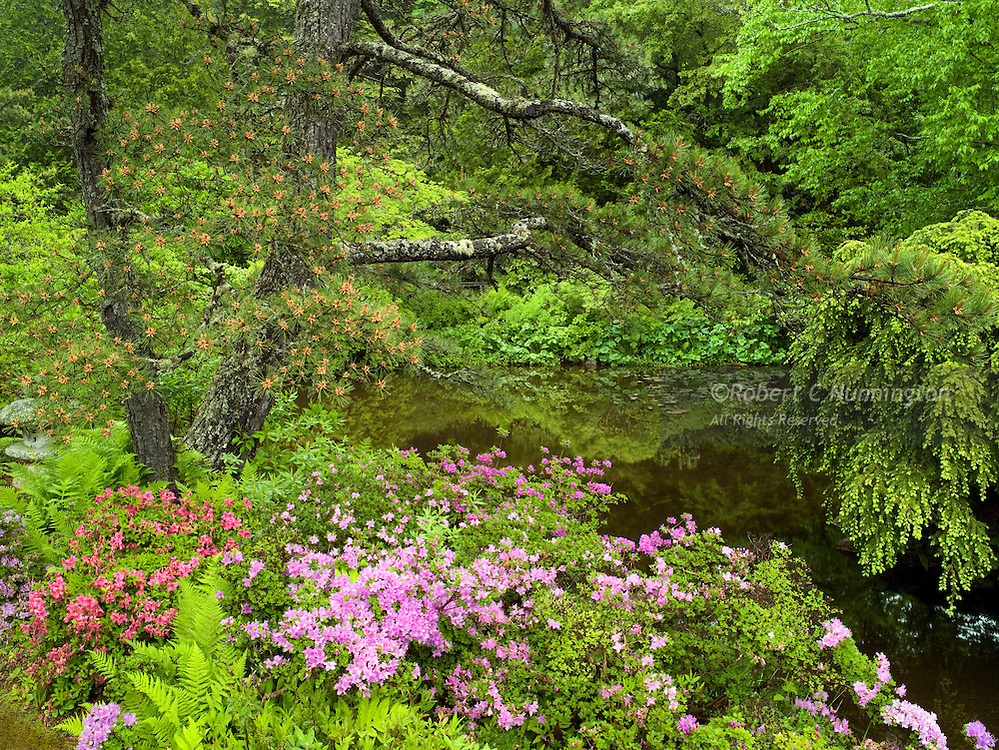 Soft overcast light during gentle rain saturates the rich colors of Asticou Gardens' Azaleas and greenery in this magical little location.