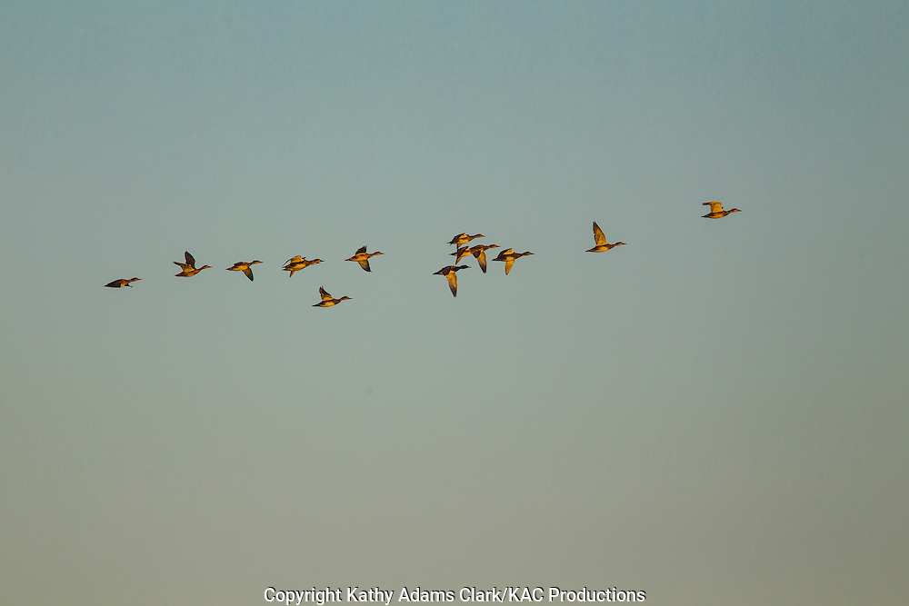blue-winged teal, Anas discors, in flight, Katy Prairie, west Harris County, coastal prairie, Texas.