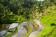 Subak irrigation rice images taken, on February 2017 in Ubud, Bali, Indonesia