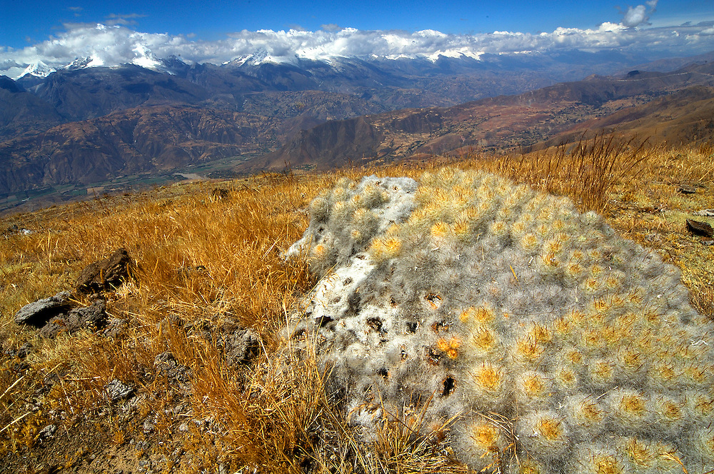 Cactus plants, Cordillera Blanca mountain range, Ankash region, Peru. A trek across the White Range of the Andes, or Cordillera Blanca, is a 3-week, 300-kilometers odyssey, a veritable journey in time through the most incredible landscape in the world.