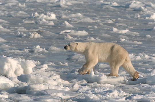 Polar Bear (Ursus maritimus) Adult walking on ice. Hudson Bay. Churchill, Manitoba. Canada. Winter.