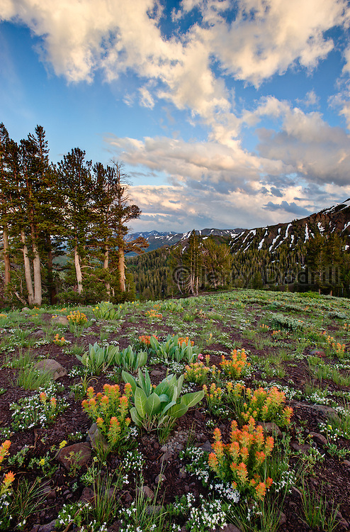 An abundant summer wildflower display at sunset after a thunderstorm along the Pacific Crest Trail at Sonora Pass just off California Highway 108. At 9,624 feet, Sonora is the second highest pass in the Sierra Nevada Mountains.