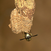 Potter wasps (or mason wasps) are a cosmopolitan wasp group presently treated as a subfamily of Vespidae, but sometimes recognized in the past as a separate family, Eumenidae.