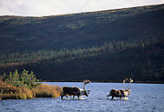 Swimming, Lake, Wonder lake, Bull Caribou, Caribou, Denali, Denali National Park, Alaska