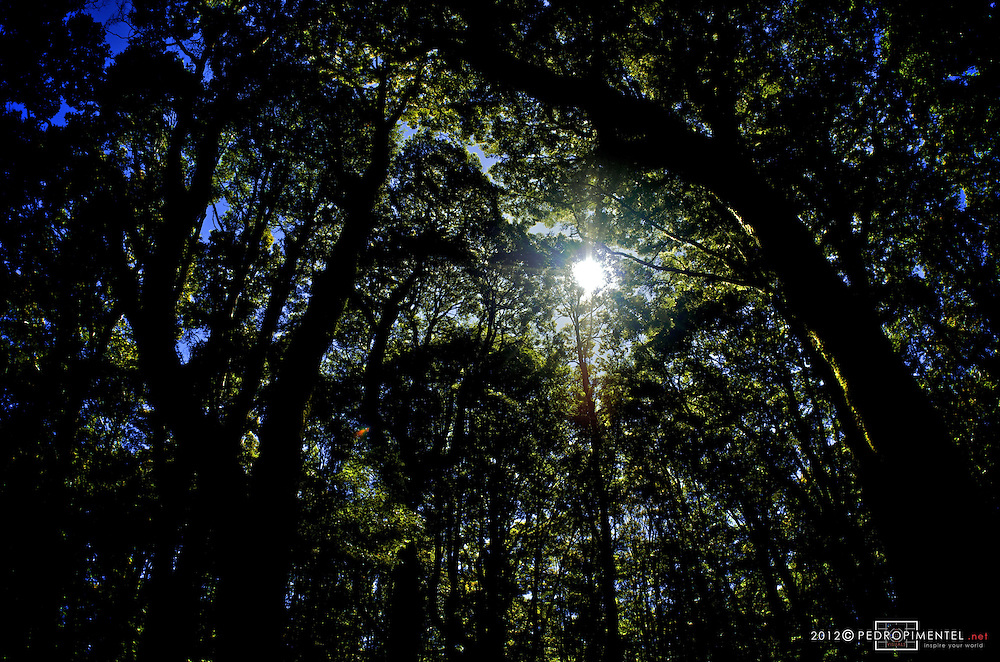 The sun trying to break throught he dense foliage of the Harwoods hole forest.  New Zealand.