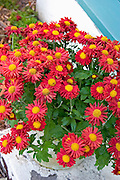 Pot of beautiful crimson flowers.  St Paul  Minnesota USA