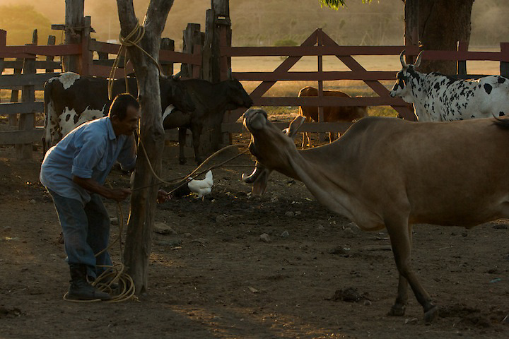 Sabaneros ( Costa Rican cow boys) works very hard all day long, often long time away from their family.