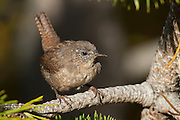 The Winter Wren (Troglodytes troglodytes), also known as the Northern Wren, is a very small bird, a member of the mainly New World wren family Troglodytidae.