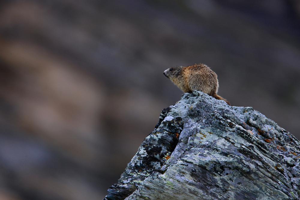 Alpine Marmot (Marmota marmota) sitting on a rock, Hohe Tauern National Park, Carinthia, Austria