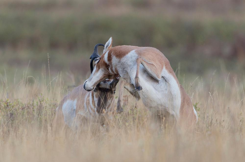 Battling Pronghorn Bucks (Antilocapra americana), Western Montana