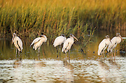Woodstorks standing in calm water in marsh