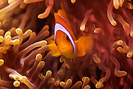 24/April/2013 Saudi Arabia. Jeddah<br /> Clown fish at Al-Fahal reef. Red Sea<br /> <br /> &copy;&nbsp;JOAN COSTA
